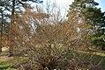 Hamamelis vernalis 6zz.jpg