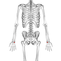 Hamate bone 02 dorsal view.png