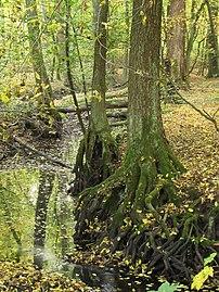 Hamburg, Naturschutzgebiet Rodenbeker Quellental, Erlen am Rand der Bredenbek mit freigespülten Wurzeln, WDPA ID 82429.jpg