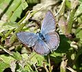Hanno Blue. Hemiargus hanno - Flickr - gailhampshire.jpg