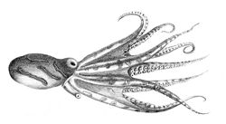 Hapalochlaena fasciata.jpg