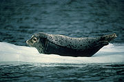 Common Seal resting on ice