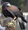 Harris Hawk 5 (4451288914).jpg