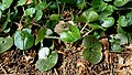 Haselwurz (Asarum europaeum) am Kolshorner Teich 04.jpg