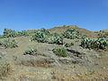 Hauts plateaux éthiopiens-Cactus.jpg