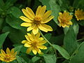 Helianthus microcephalus from lalbagh 2175.JPG