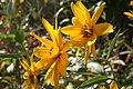 Helianthus tuberosus ENBLA04.jpg