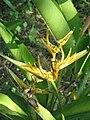 Heliconia psittacorum1.JPG