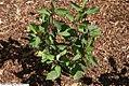 Heliopsis helianthoides var. scabra Summer Nights 2zz.jpg