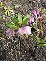 Helleborus orientalis ssp. orientalie (Ranunculaceae) plant.jpg