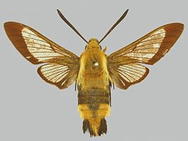 Hemaris affinis BMNHE274265 male up.jpg