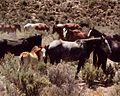 Herd of wild horses at the the Nevada Test Site 2.jpg
