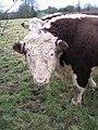 Hereford bull - geograph.org.uk - 1093795.jpg