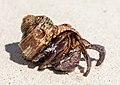 Hermit crabs of Seychelles 04.jpg