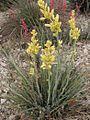 Hesperaloe (Agavaceae) Hesperaloe parviflora fh 427.35 TX Kulturpflanze selten gelbblühend.jpg
