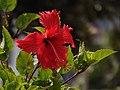 Hibiscus CV.jpg