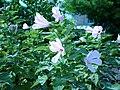 Hibiscus grandiflorus.jpg