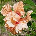 Hibiscus rosa-sinensis (Double flowers).jpg