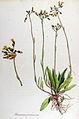 Hieracium pratense — Flora Batava — Volume v12.jpg