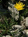 Hieracium villosum PID1510-2.jpg