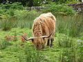 Highland-cattle-1.jpg