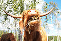 Highland cattle eating.jpg