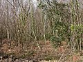 Hinton, birch thicket - geograph.org.uk - 1227008.jpg