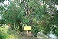 HiroshimaCastleEucalyptus7206.jpg