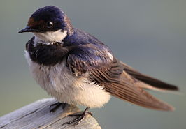 Hirundo albigularis -Rietvlei Nature Reserve, Pretoria, South Africa -adult-8 (3).jpg