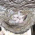 Hirundo rustica gutturalis (5 eggs in nest).jpg