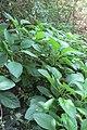 Histiopteris incisa (Thunb.) J.Sm. (AM AK360048-3).jpg