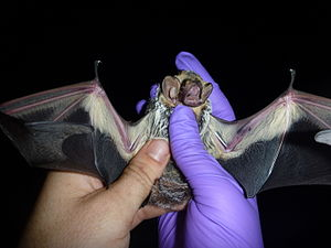 Hoary bat - Hoary bat examined by a scientist. The inner forearm was marked with black marker to provide re-capture data. The furred uropatagium, namesake of the genus (Lasiurus), is visible in photo