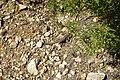Hoces del Cabriel, Lagartija colilarga (Psammodromus algirus).jpg