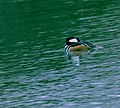 Hooded Merganser - male 2.jpg