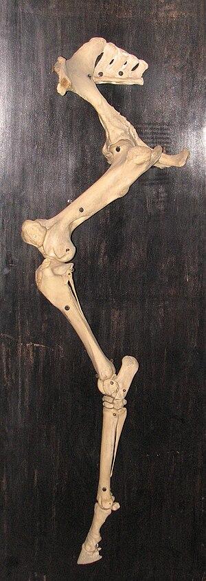 Skeletal system of the horse - Appendicular hindlimb skeleton