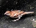 House Sparrow female erythristic best DSCN8903 (2).jpg