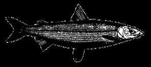 Zeichnung des Nordseeschnäpels