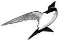 Huiszwaluw Delichon urbica Jos Zwarts 5.tif