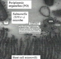 Human Salmonella secreting outer membrane vesicles in vivo in chicken ileum (Original work of Dr R C YashRoy).png