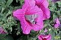 Hummingbird hawkmoth (NH266) (24841576321).jpg