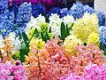 Hyacinth April 2013 Tokyo.jpg