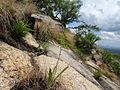 Hyacinthaceae - Mount Jaiane 4 (21834348274).jpg