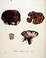 Hydnum cinereum — Flora Batava — Volume v20.jpg