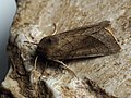 Hydraecia ultima (44441747562).jpg