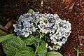 Hydrangea macrophylla 21zz.jpg