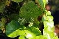Hydrocotyle vulgaris 4zz.jpg