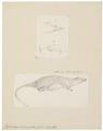 Hydromys leucogaster - 1700-1880 - Print - Iconographia Zoologica - Special Collections University of Amsterdam - UBA01 IZ20500187.tif
