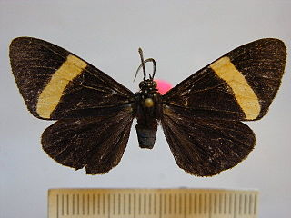 <i>Thyrgis militta</i> species of insect