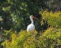 Ibis in tree.jpg