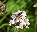 Ichneumon Wasp. Looks like Ichneumon suspiciosus? (37374692890).jpg